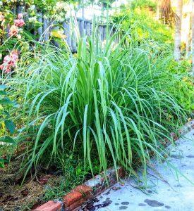 http://www.dreamstime.com/stock-photos-lemongrass-plant-herb-vegetable-garden-image41271043