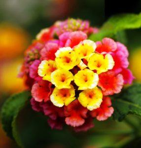 http://www.dreamstime.com/stock-photos-closeup-multi-colored-lantana-flowers-image24414063